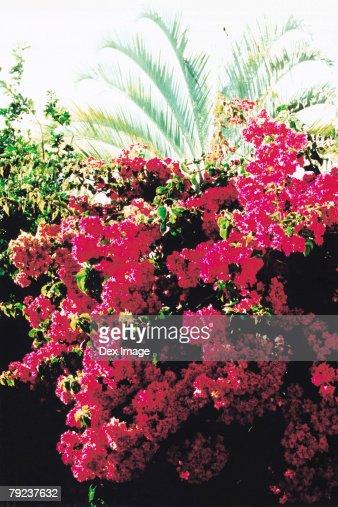Bougainvillea flowers : Stock Photo