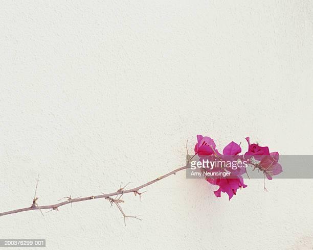 Bougainvillea glabra against white wall