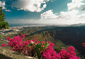 Bougainvillea growing on a wall, Las Palmas Crater, Gran Canaria, Canary Islands, Spain