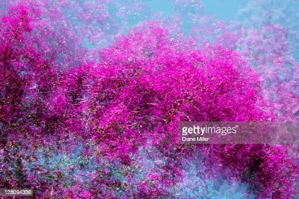 Bougainvillea multiple exposure, San Miguel de Allende, Mexico