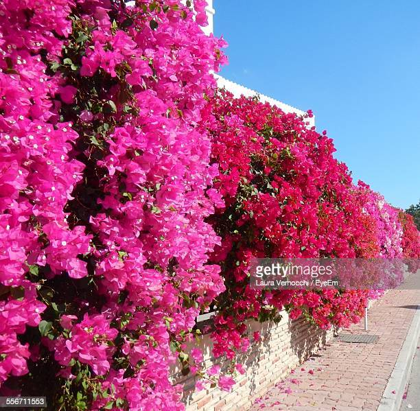Bougainvillea On Wall Against Clear Sky