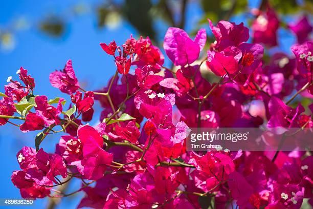 Bougainvillea or Bougavillia dramatic exotic flowering shrub in vibrant shocking pink shade of colour in Corfu Greece