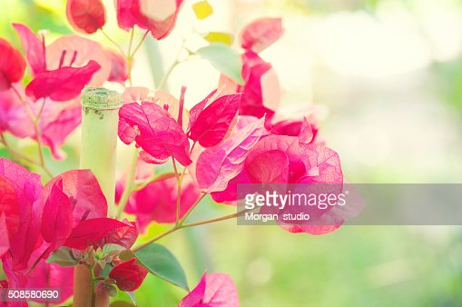 bougainvillea : Stockfoto