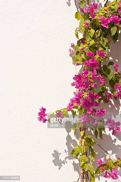 bougainvillea, spring time flower beauty in nature