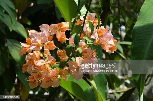 Bougainvillee - Bougainvillea : Stock Photo