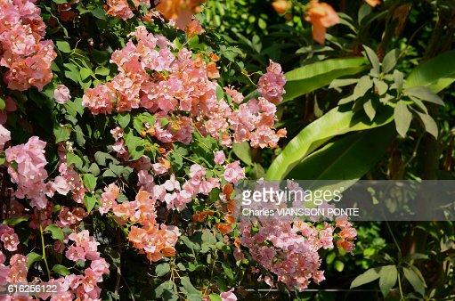 Bougainvillee - Bougainvillea : Foto de stock
