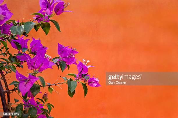 Bouganvilla blooms against orange wall