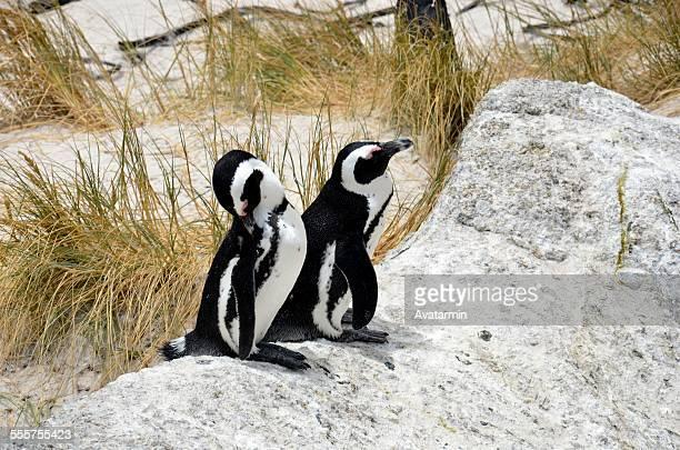 Boulders beach penguin colony - Simon's town
