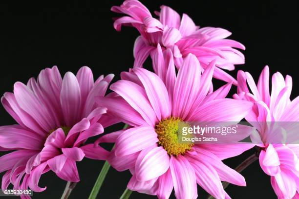 Bouquet of bright pink Gerber daisy's on a black background (Gerbera)