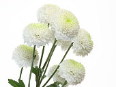 Pictured a bouquet of chrysanthemum in a white background.