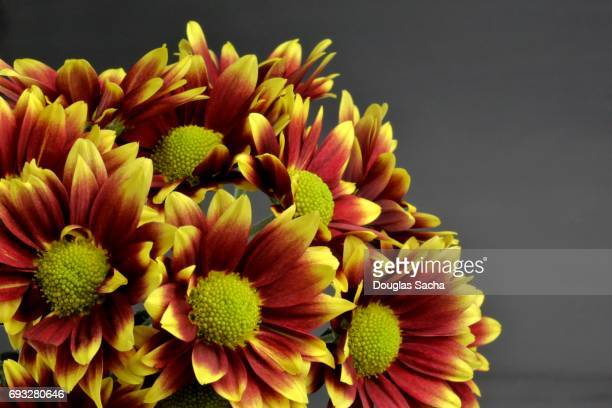 Bouquet of colorful flowers (Gerbera)