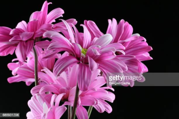 Bouquet of Daisy's on a black background (Gerbera)