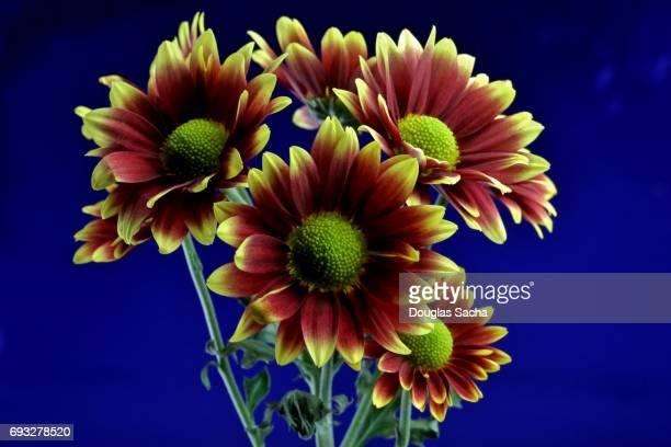 Bouquet of Gerber daisy's on a blue background (Gerbera)