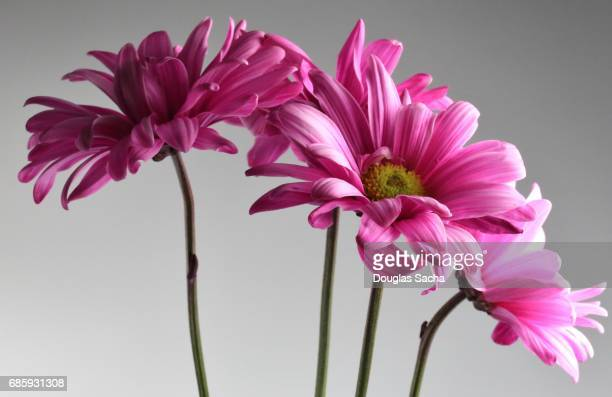 Bouquet of Gerber daisy's on a white background (Gerbera)