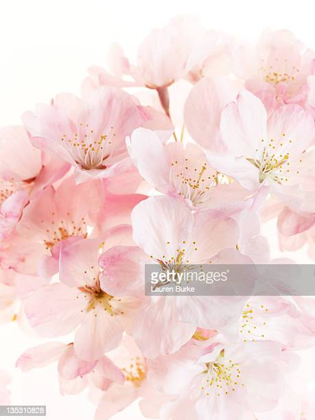 Bouquet of pink cherry blossoms