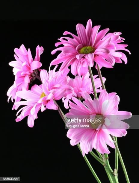 Bouquet of pink Gerber daisy's on a black background (Gerbera)