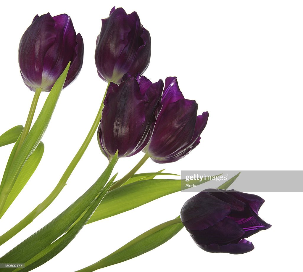 Bouquet of tulips : Stock Photo