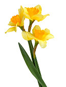 A bouquet of yellow daffodils with leaves on a white background. Narcissus flower