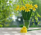 Bouquet yellow daffodils in vase on background of garden