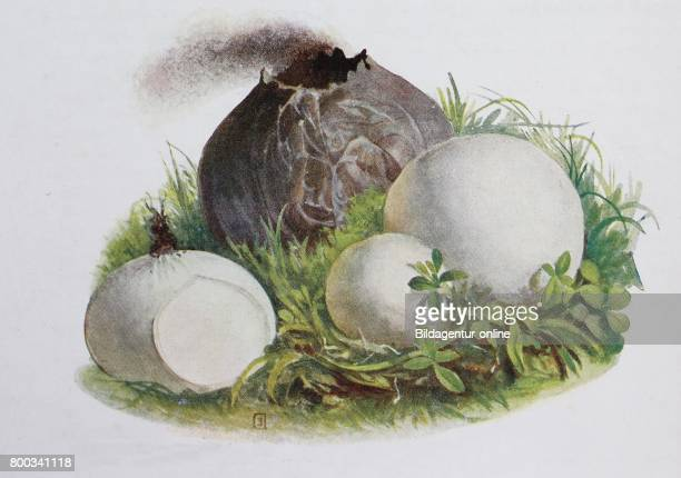 Bovista nigrescens commonly referred to as the brown puffball or black bovist digital reproduction of an ilustration of Emil Doerstling