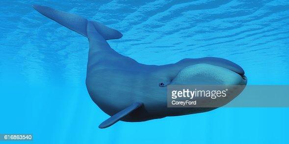 Bowhead Whale : Stock Photo