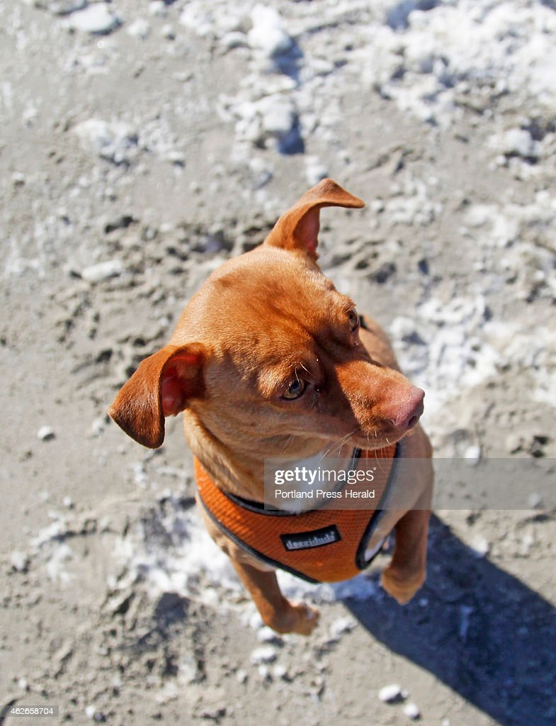 Bowser part Basenji an African hunting breed and Mexican Chihuahua owned by Herta Williams of South Portland asks for a treat while playing at...