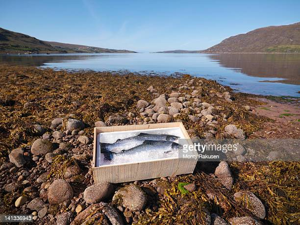 Box of two freshly caught salmon in ice on beach
