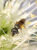 Little native bee foraging in an onion flower