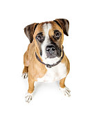 Overhead photo of Boxer mixed breed dog looking up