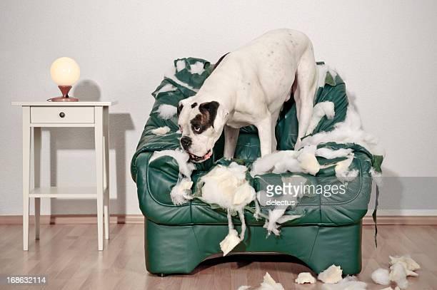 Boxer Hund zerstört Ledersessel