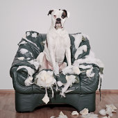 Boxer dog destroys leather chair