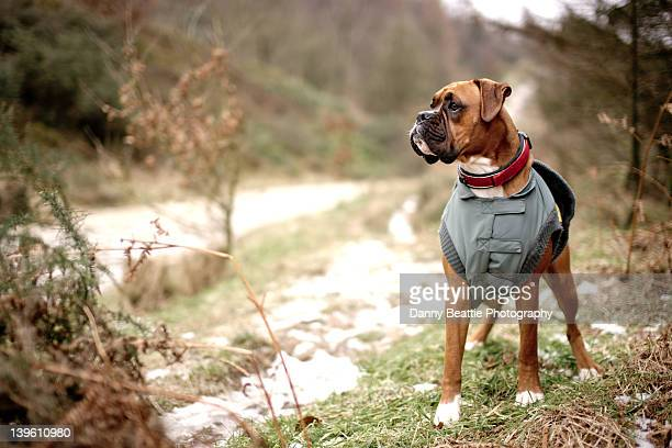 Boxer dog in coat