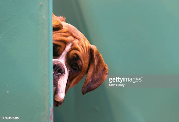 Boxer dog looks out from its kennel on first day of Crufts dog show at the NEC on March 6 2014 in Birmingham England Said to be the largest show of...