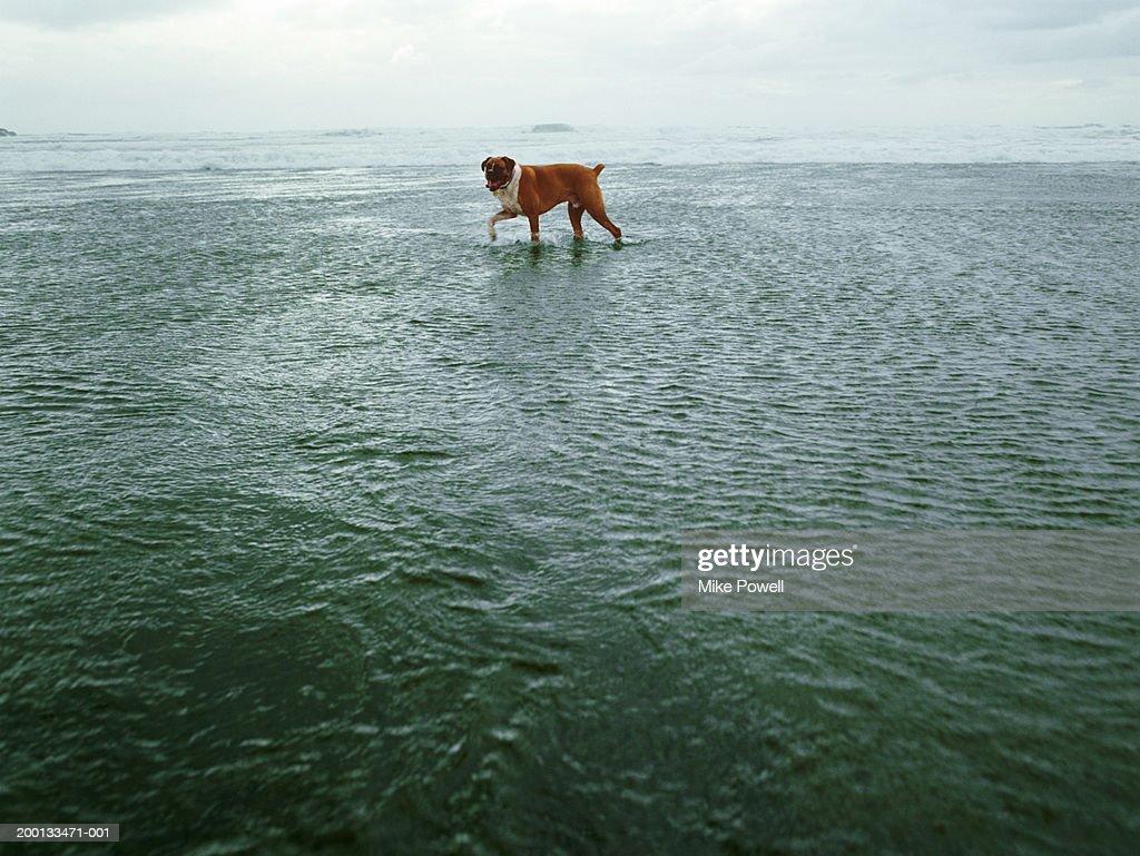 Boxer dog on beach : Stock Photo