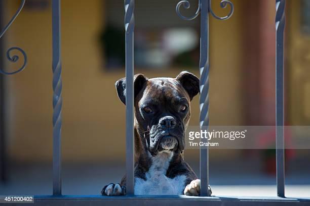 Boxer dog on guard duty at house in Calzada Del Coto in Castilla y Leon Spain
