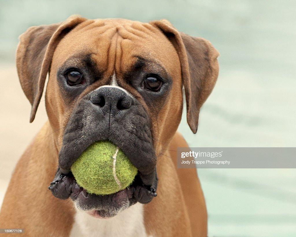 Free Boxer Dogs Uk