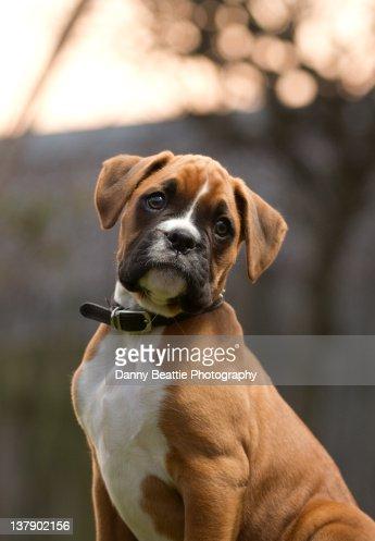 Boxer Dog Puppy : Stock Photo