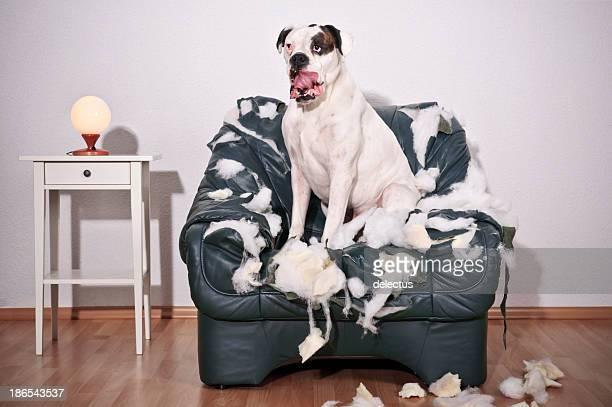 Boxeador perro sentado en una silla de cuero destruido