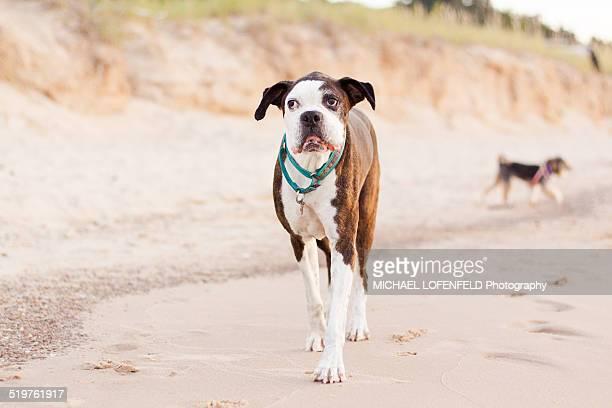 Boxer dog walking on the beach