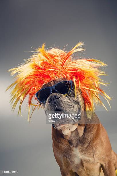 Boxer dog wearing wig and sunglasses.
