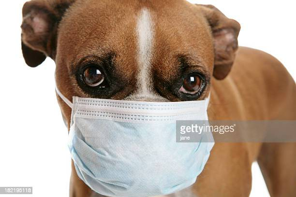 Boxer dog with a flu mask on its snout