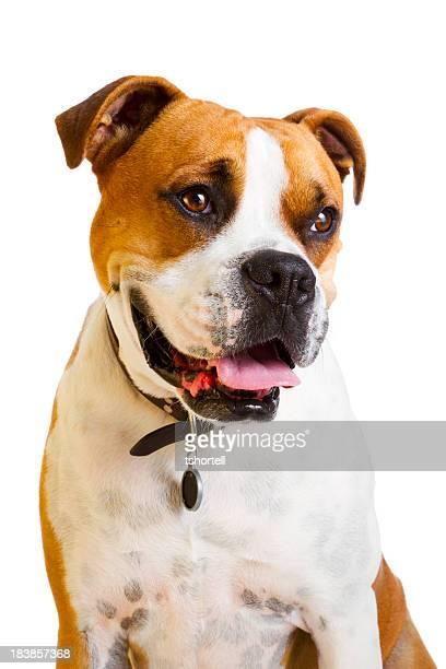 Boxer cane con Grande sorriso