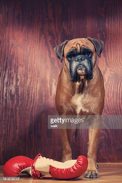 Boxer dog with boxing gloves
