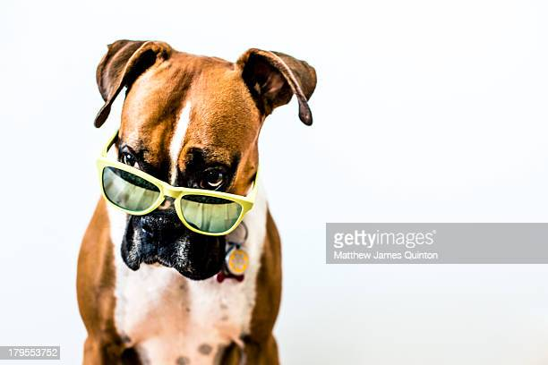 Boxer dog with bright green sunglasses