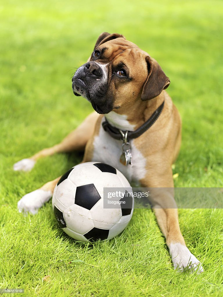 Boxer in a field : Stock Photo