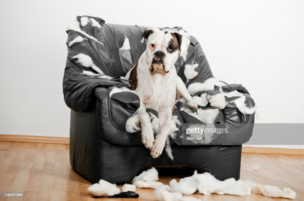 Boxer is on a leather chair : Stock Photo