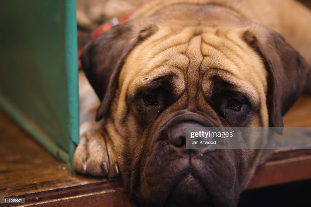 A Boxer lays in it's kennel on Day three of Crufts at the Birmingham NEC Arena on March 10, 2012 in Birmingham, England. During the annual four-day competition nearly 22,000 dogs and their owners will compete for a variety of accolades, ultimately seeking the coveted title of 'Best In Show'.