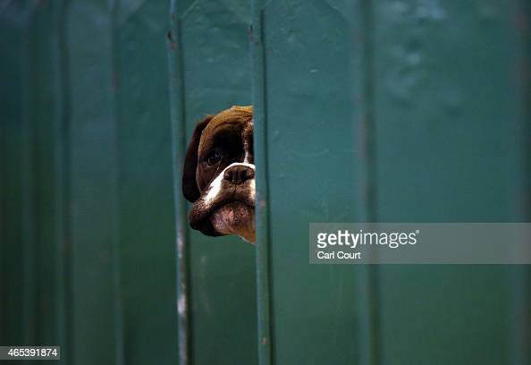 Boxer looks from its box on the second day of Crufts dog show at the National Exhibition Centre on March 6 2015 in Birmingham England First held in...