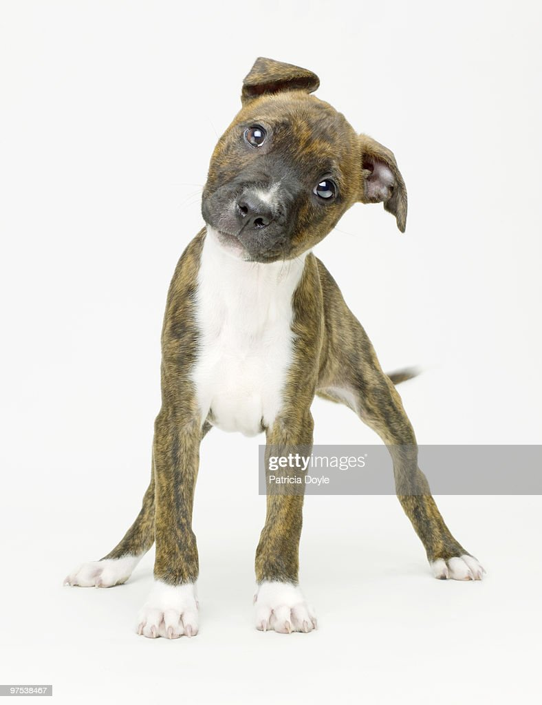 Boxer Pup Staring into comera