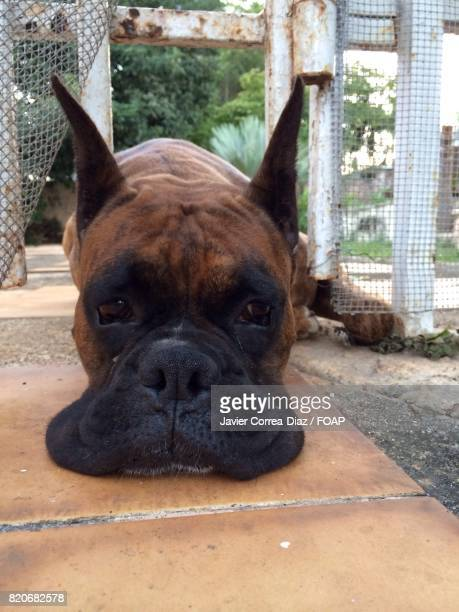 Boxer puppy laying down on landscape